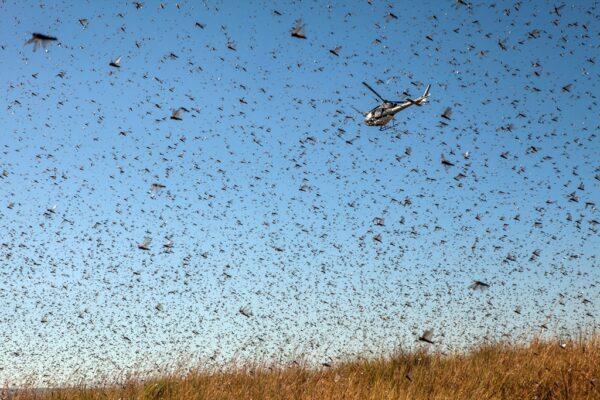 好懸!飛機空中撒藥 險被蝗軍「吃」掉