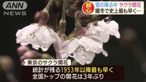 東京2 °C雨雪中 櫻花開放