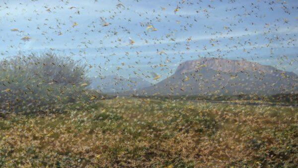 漫天蝗蟲甚是嚇人。(TONY KARUMBA/AFP via Getty Images)