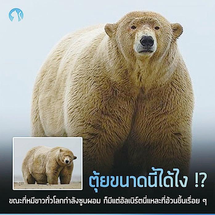 名為胖子阿爾伯特的北極熊。(網絡圖片)