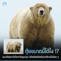 一隻北極熊體重超過六百公斤 攝影師:牠貪吃又被養胖