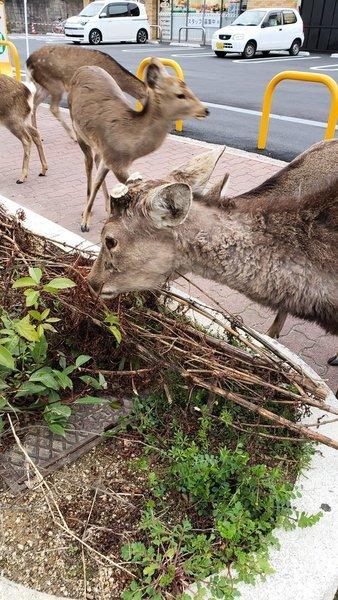 疫情下遊客大減 日本奈良鹿四處找食物