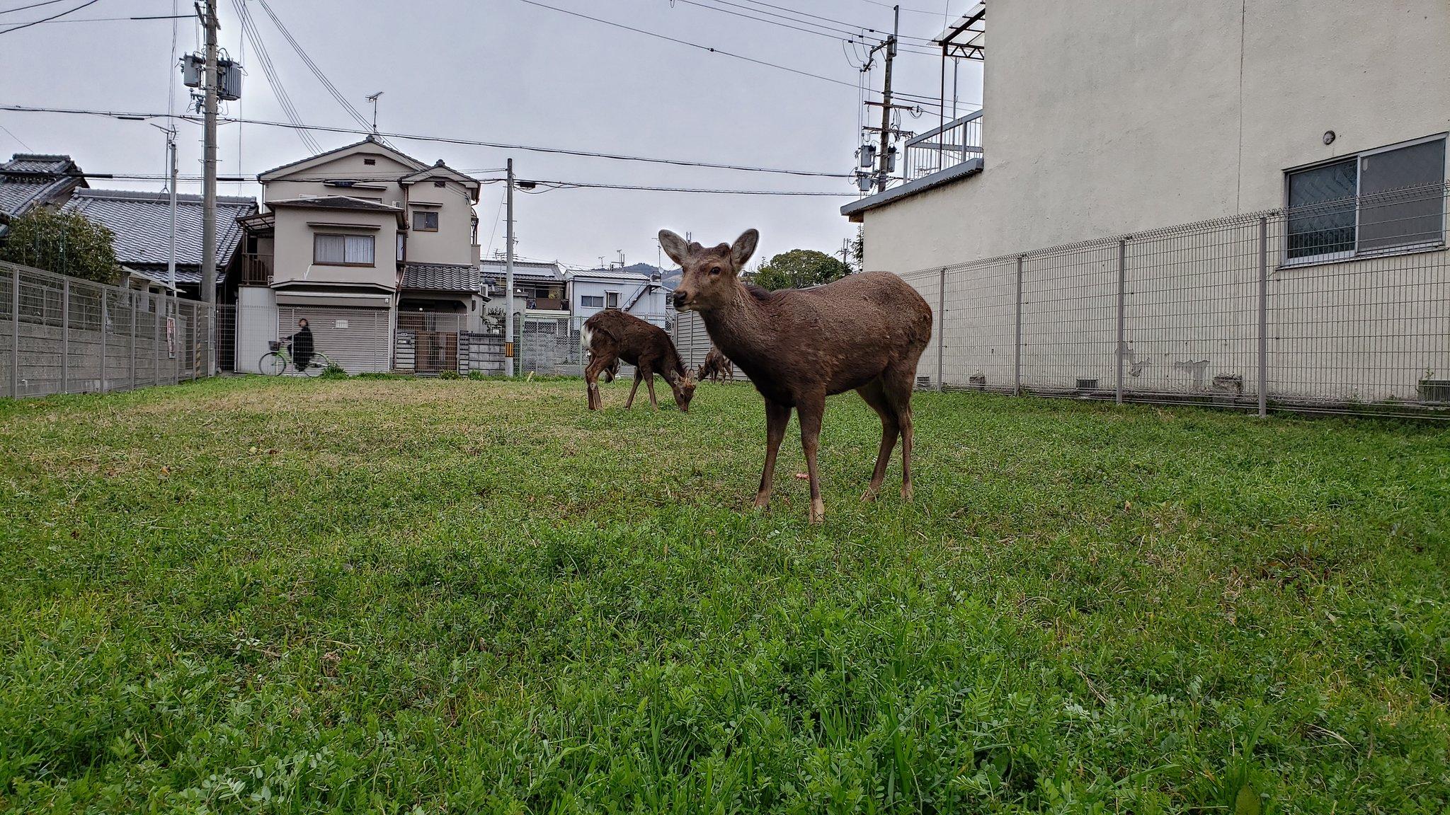 遊客數目大減,奈良鹿要成群結隊四處覓食。就連路邊的花壇、草地也成為牠們覓食之地。