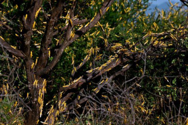 漫天的蝗蟲甚是嚇人。( TONY KARUMBA/AFP via Getty Images)