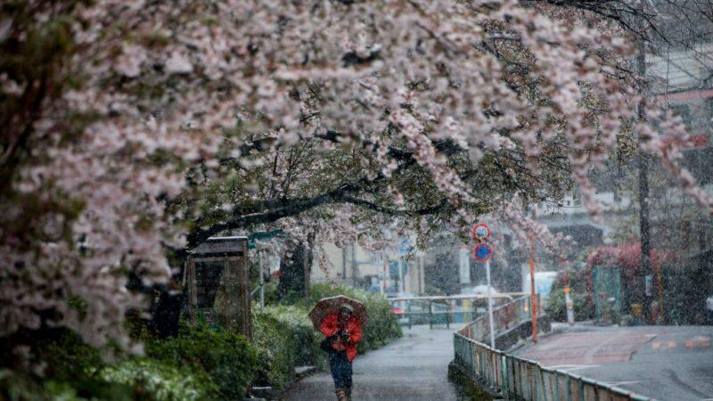 東京都2020年3月29日降雪到中午12時止已積雪1厘米,是時隔51年再度出現櫻花滿開後還積雪達1厘米,氣象新聞公司表示情況相當罕見。(BEHROUZ MEHRI/AFP via Getty Images)