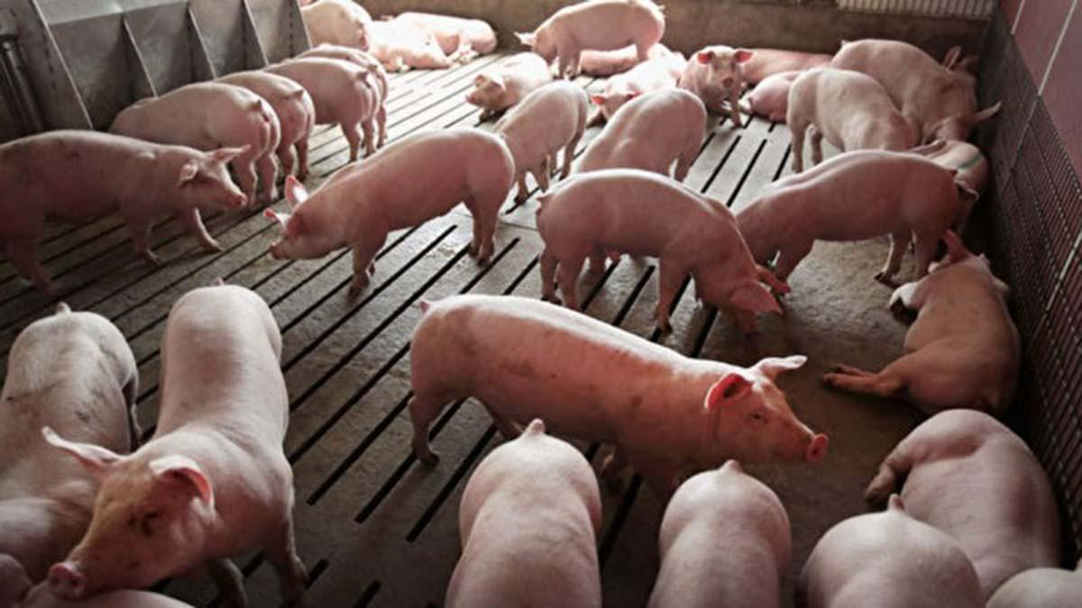 中共肺炎疫情未消,中國再度爆發非洲豬瘟疫情。(Scott Olson/Getty Images)