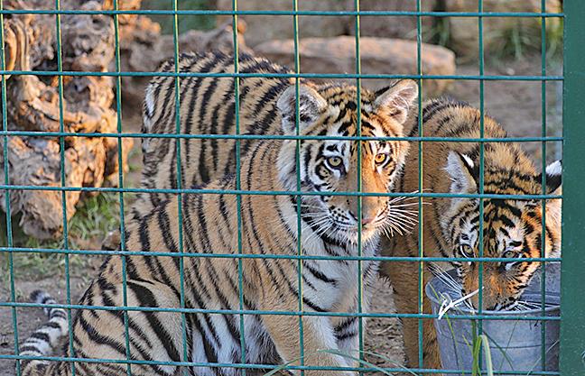 紐約動物園老虎染上中共病毒 全球首宗