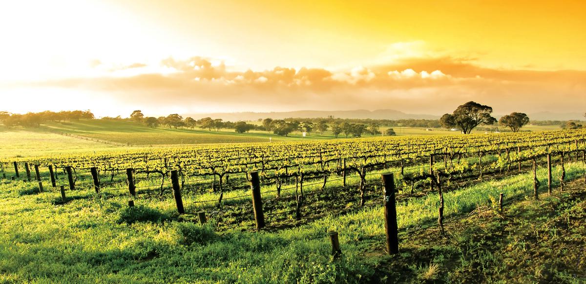 澳洲的Barossa Valley是全球最老的思拉(Shiraz)葡萄籐的所在地。