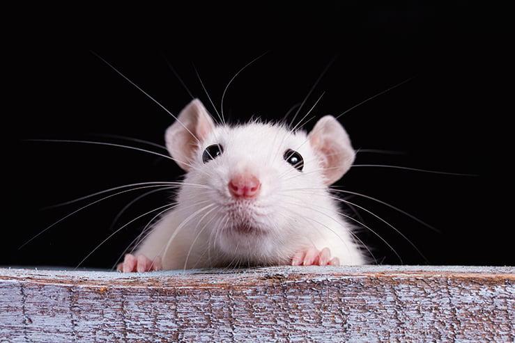 從老鼠「扮鬼臉」獲得靈感治療情緒障礙