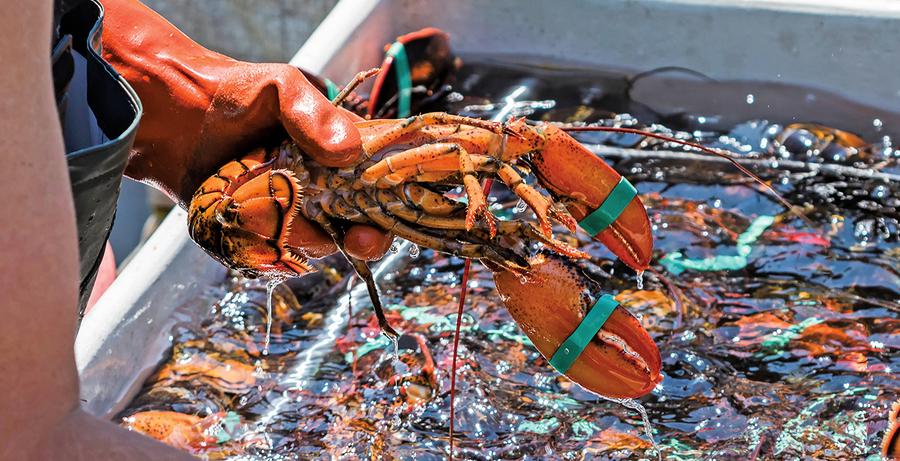 龍蝦分解微塑料 進一步污染環境