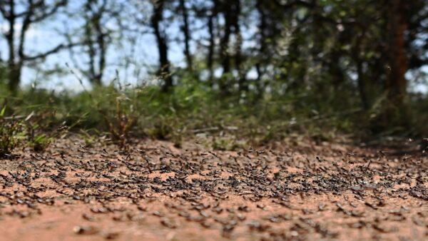 首波蝗蟲大軍剛消停時間不長,4月起蝗蟲大軍又來了。(TONY KARUMBA/AFP via Getty Images)