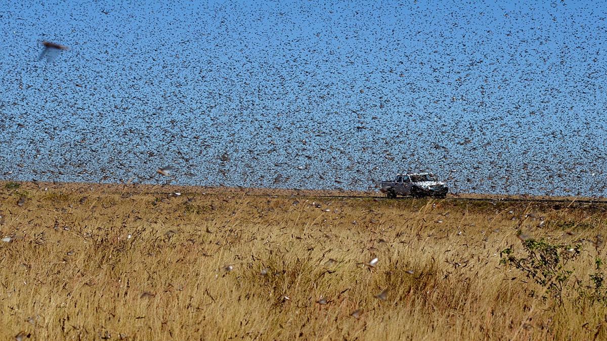 首波蝗蟲大軍剛消停一會,4月起蝗蟲大軍又來了,而且比首波更嚴重,規模比大20倍之多。(BILAL TARABEY/AFP via Getty Images)