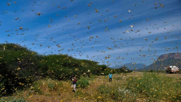 沙漠蝗蟲被認為是全球最具毀滅力的遷徙性害蟲。( TONY KARUMBA/AFP via Getty Images)
