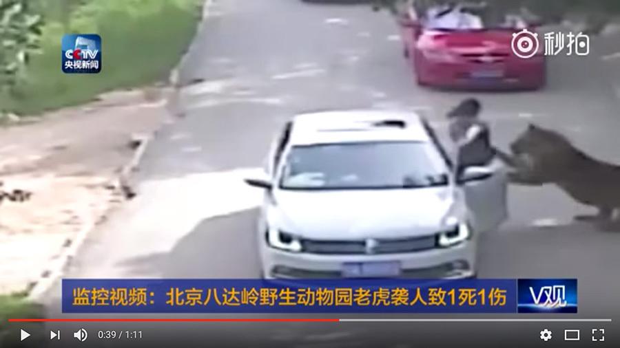 圖為2016年7月23日,北京八達嶺野生動物圖發生的一宗老虎傷人事件。(視像擷圖)