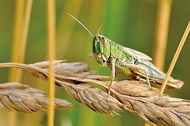蝗災傷害莊稼,但在魯恭的中牟縣蝗蟲過門不入。圖為一種蝗蟲。(pixabay)