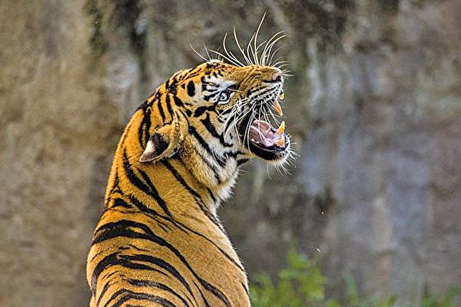 孫謙的清廉愛民仁政發出巨大的善能量,老虎猛獸也自動遠離。示意圖。(pixabay)