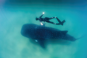 新研究用核武器鑑定鯨鯊年齡