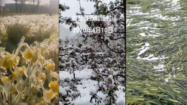 晉冀魯豫四省4月份鵝毛大雪!莊稼減產、絕收難免!(影片截圖)