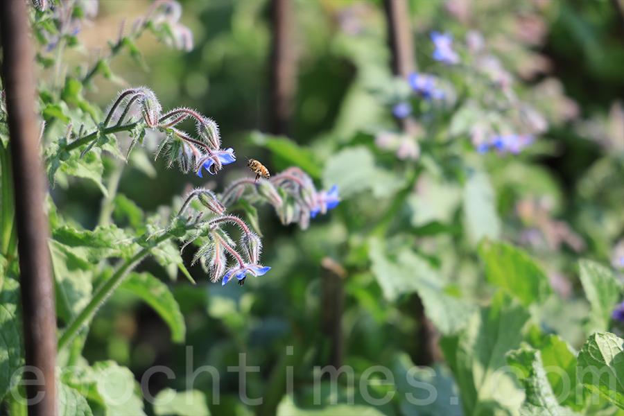 琉璃苣最吸引蜜蜂,Yan也從中感受到生態平衡的重要性。(陳仲明/大紀元)
