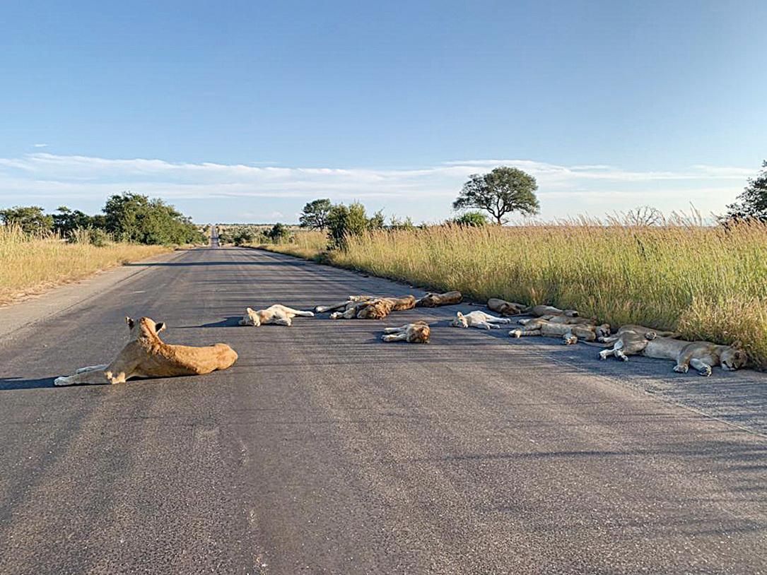 睡在馬路上的獅群。(網絡圖片)