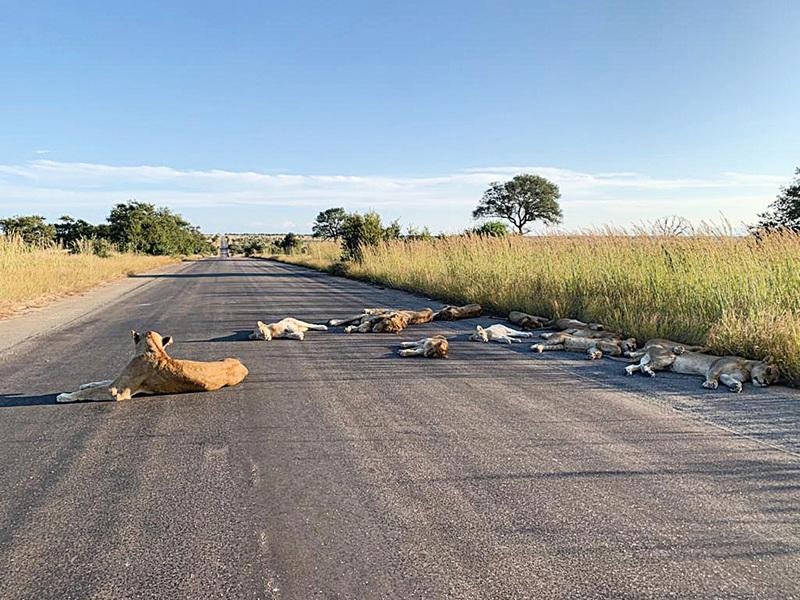 動物保護區因疫情關門 獅子們排排睡在無人馬路上