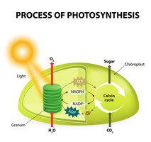 研究發現植物光合作用開關