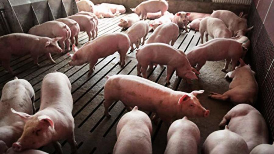中國豬農隱瞞非洲豬瘟 疫情已擴散