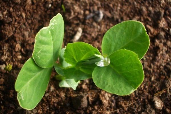 研究發現,無大腦的植物竟然懂得風險評估。(Maria Keays/flickr)