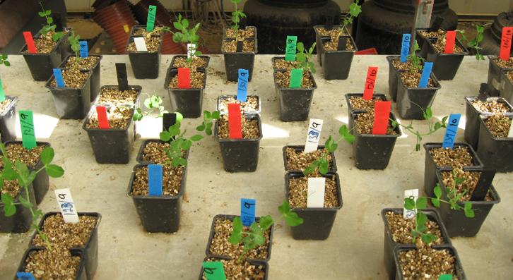 實驗人員將豌豆苗的根鬚分開,植入兩個花盆。(視像截圖)