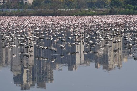 4月20日,一群紅鶴在印度孟買的一處池塘內棲息。(AFP)