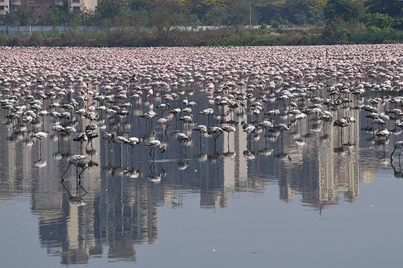 孟買封城 十幾萬隻紅鶴湧入