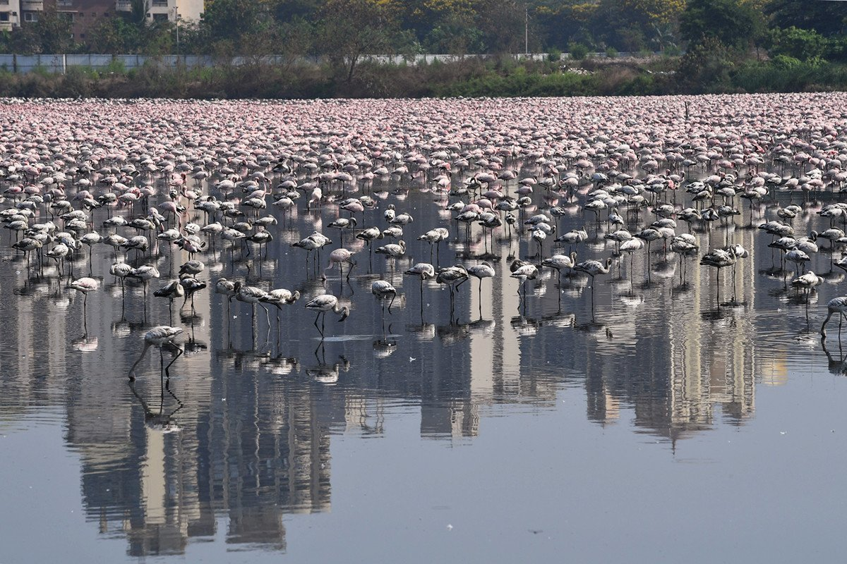 2020年4月20日,一群紅鶴在印度孟買的一處池塘內棲息。(INDRANIL MUKHERJEE/AFP)
