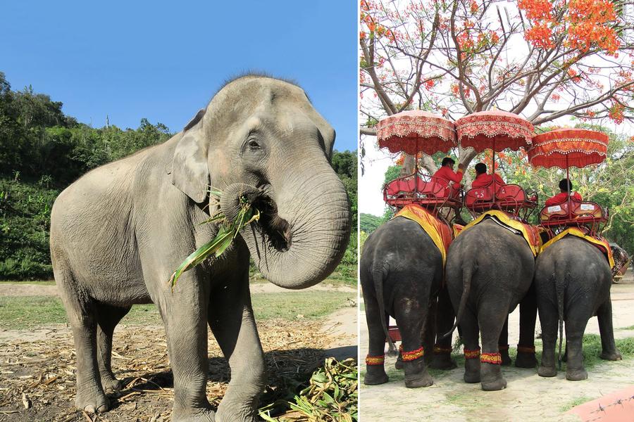 泰國大象加入「失業」大軍 跋涉百里返家園