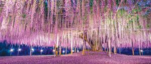 日本紫籐花瀑 浪漫夢幻