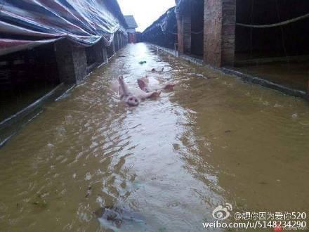 荊門市紅星村5家生豬養殖場的1萬頭豬被洪水沖走或被淹死。(網絡圖片)