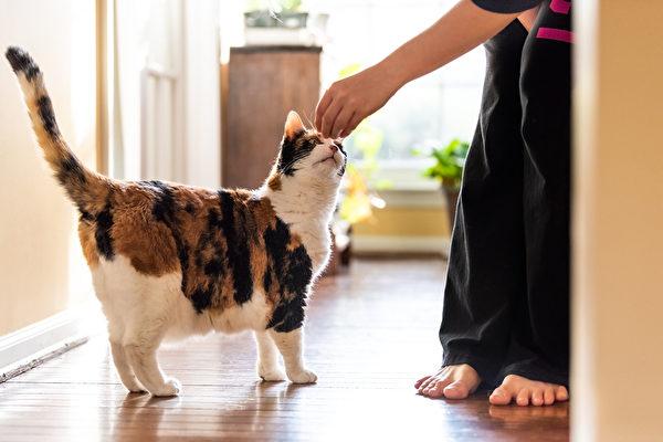 日本東京大學的研究團隊確認了貓與貓之間會傳染中共病毒,但試驗中的貓5-6天後,均未出現重症。(shutterstock)