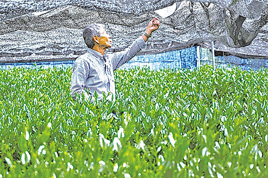 「覆下栽培法」源自日本戰國時期,讓茶葉更翠綠,大大減少苦味。
