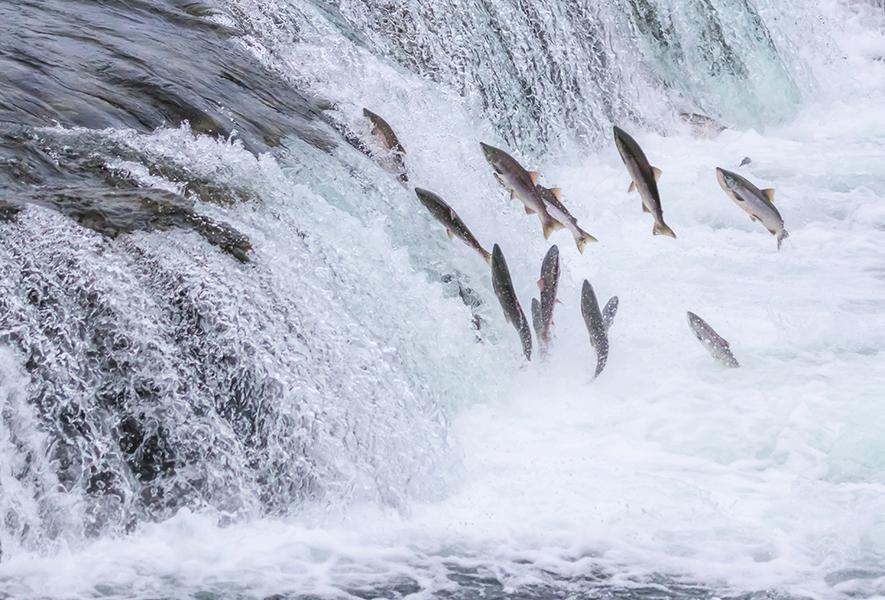 新研究:三文魚感知地磁場之謎