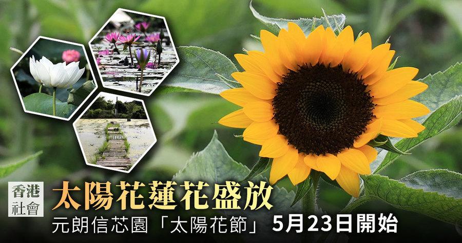 元朗信芯園太陽花蓮花盛開 迎接自由之夏