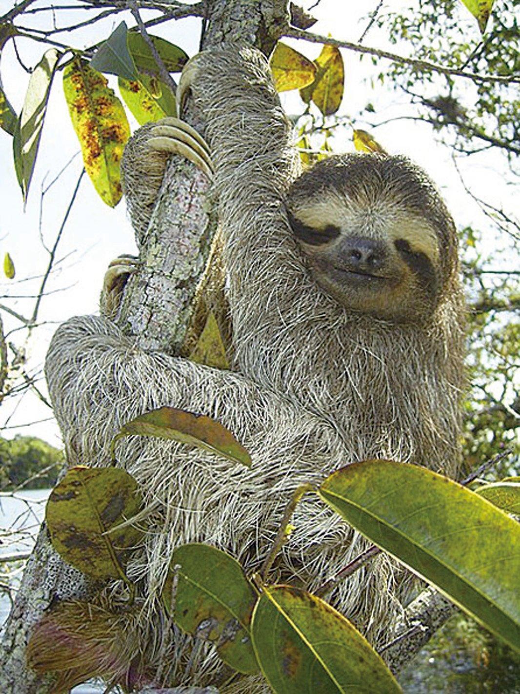 樹懶一天最多睡上18個小時,半夢半醒間的幸福表情,給人無限的好心情。(Stefan Laube/wikipedia)