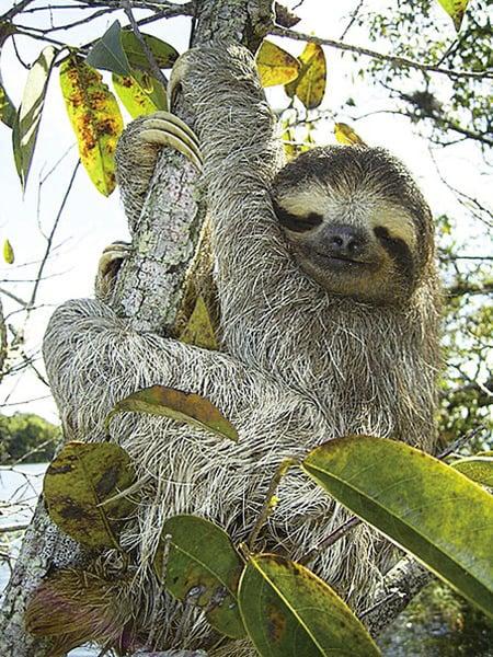 樹懶冒生命危險排泄