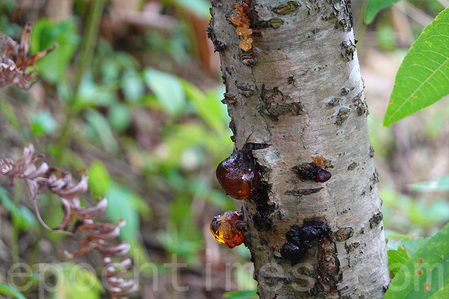 村中的桃花樹,樹上正在分泌出桃膠。(曾蓮/大紀元)
