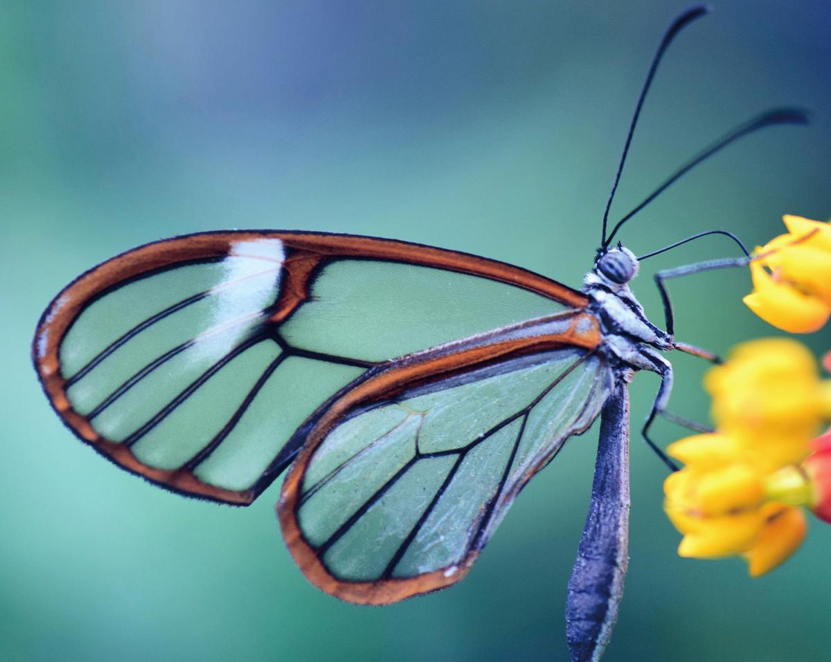寬紋黑脈綃蝶的部份翅膀呈現透明。(Pixabay)