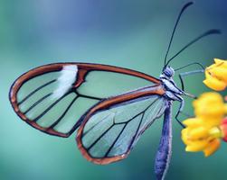 這種蝴蝶的蛹像黃金般閃亮 你見過嗎?