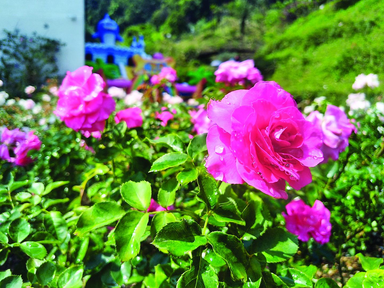 美麗的玫瑰花讓人看了賞心悅目。