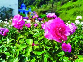 自製浪漫玫瑰露 療癒又美容