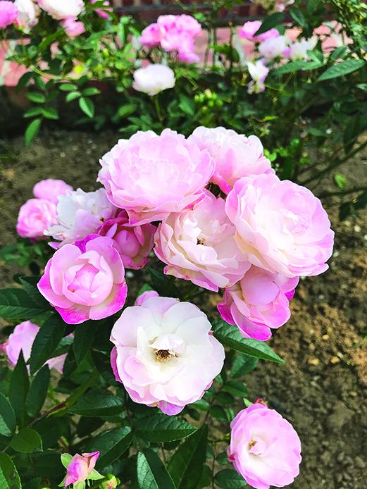 盛開的玫瑰花,外觀淡雅且香氣逼人。