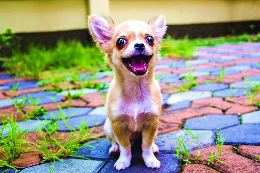 聰明機靈的吉娃娃很會黏人撒嬌,是很好的陪伴型寵物狗。