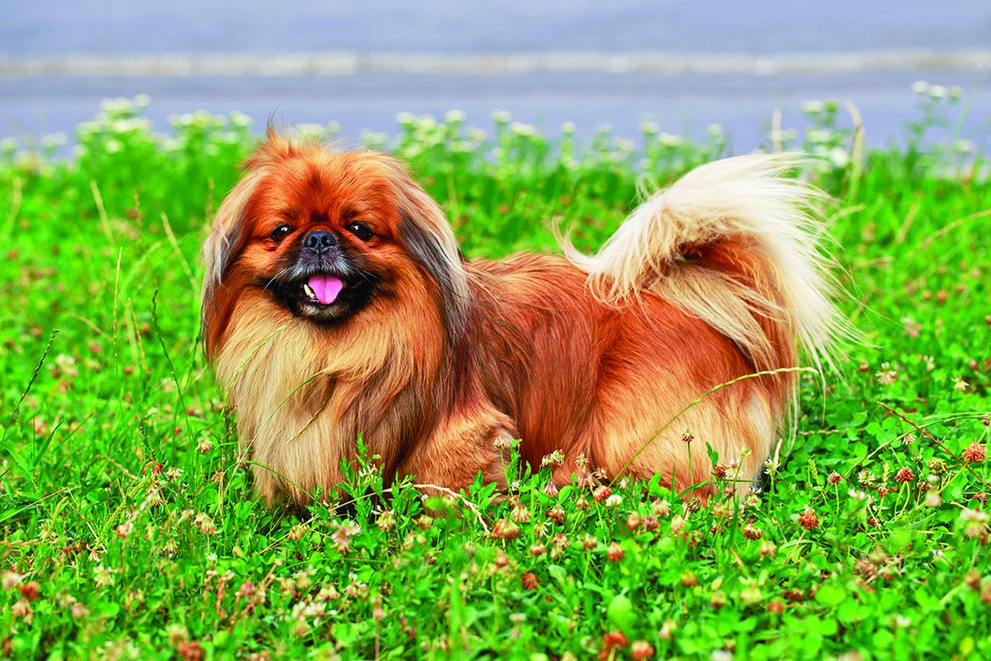 北京犬又稱獅子狗,它擁有狂野的毛髮,且具有貴族性格。