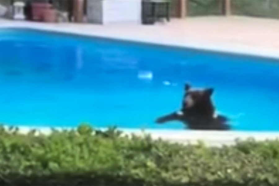 天氣好熱 熊闖進洛杉磯豪宅游泳避暑